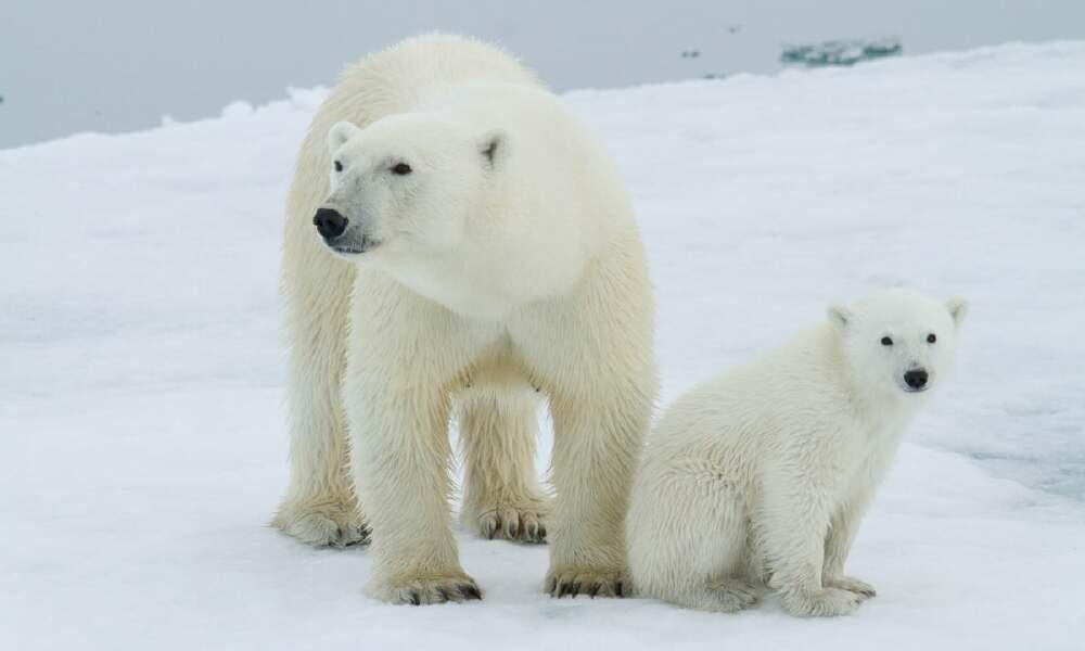 Polar bear uprising in Bouvet
