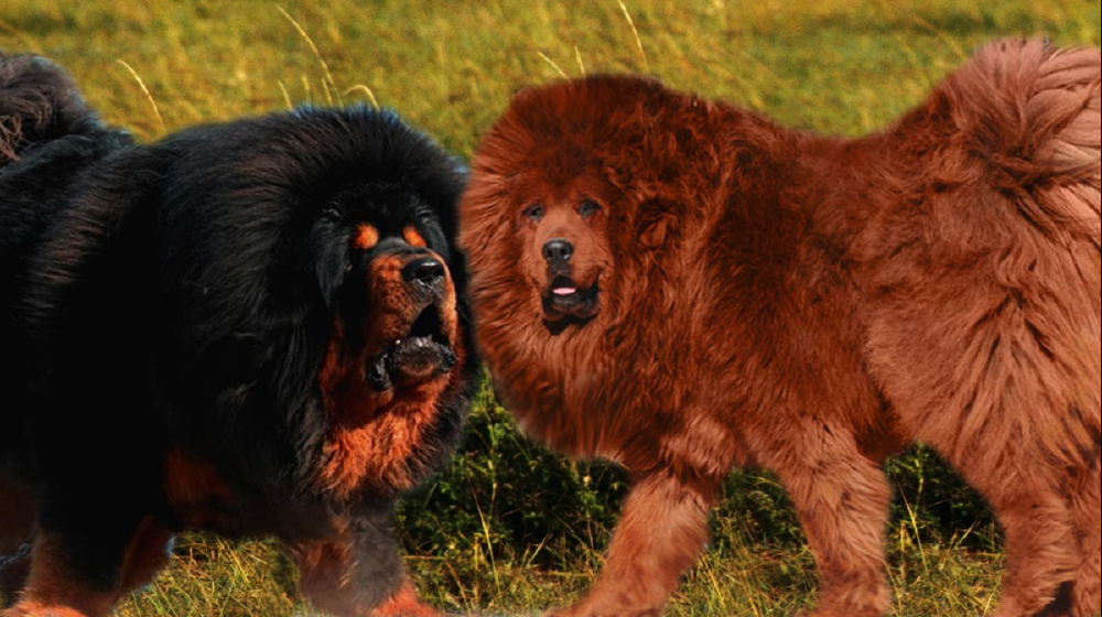 New United States Of America zoo under fire for disguising hairy dog as lion