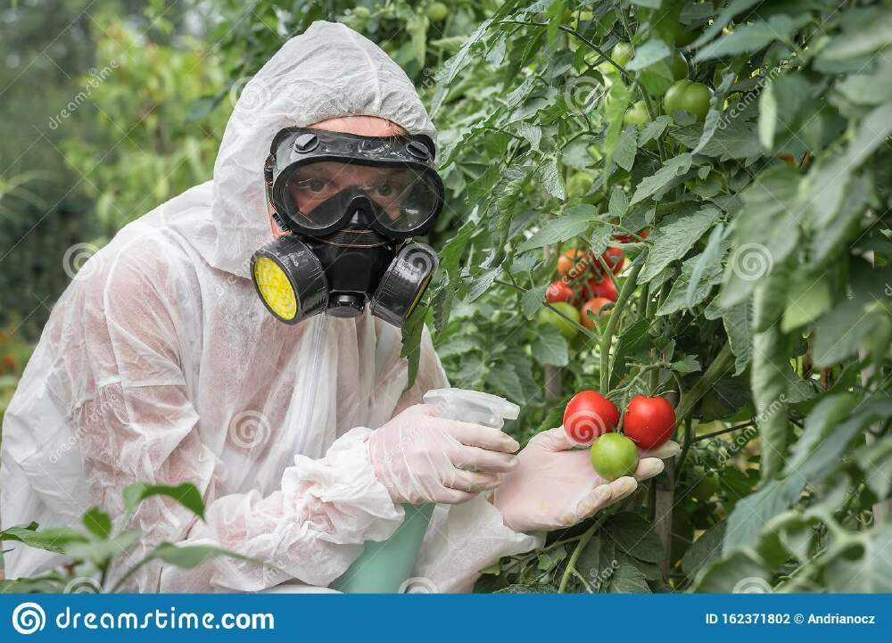 Scientist test new radiation made tomatos